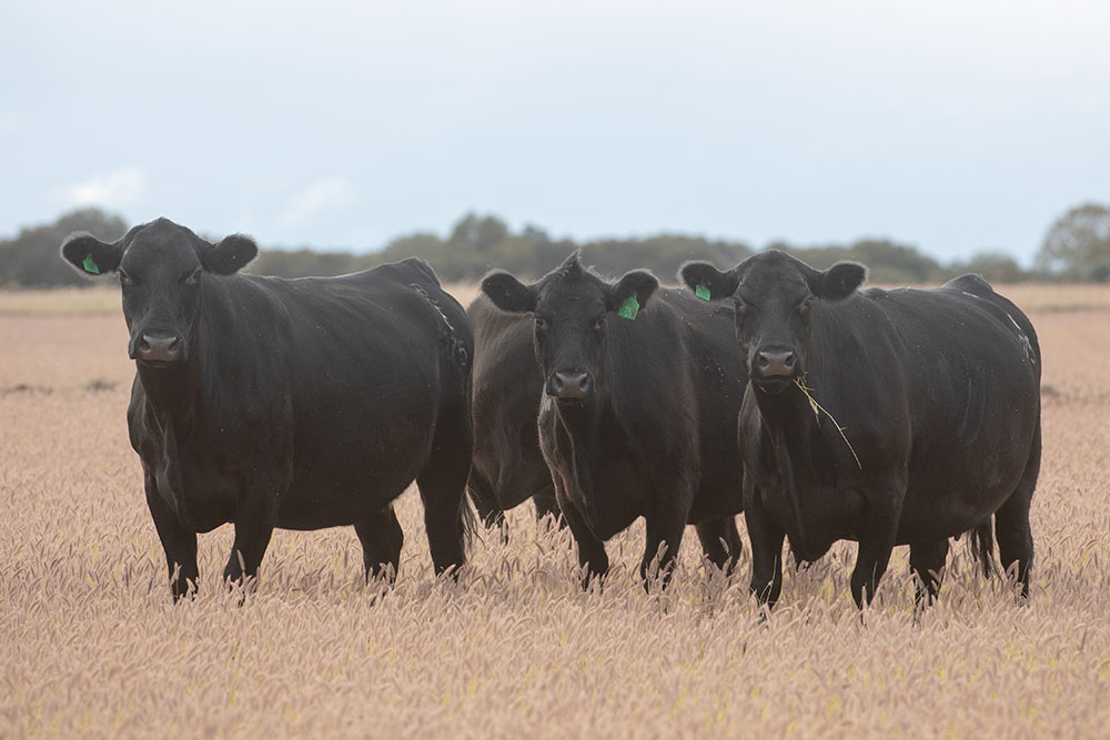 Angus stud cows in a grass paddock
